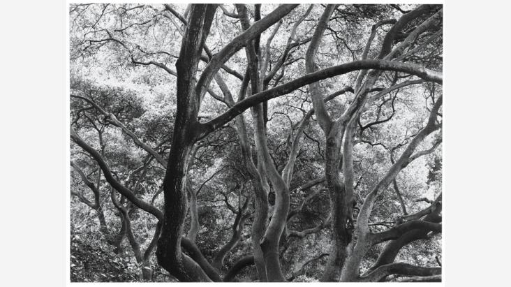 dorothea-lange-sunlit-oak